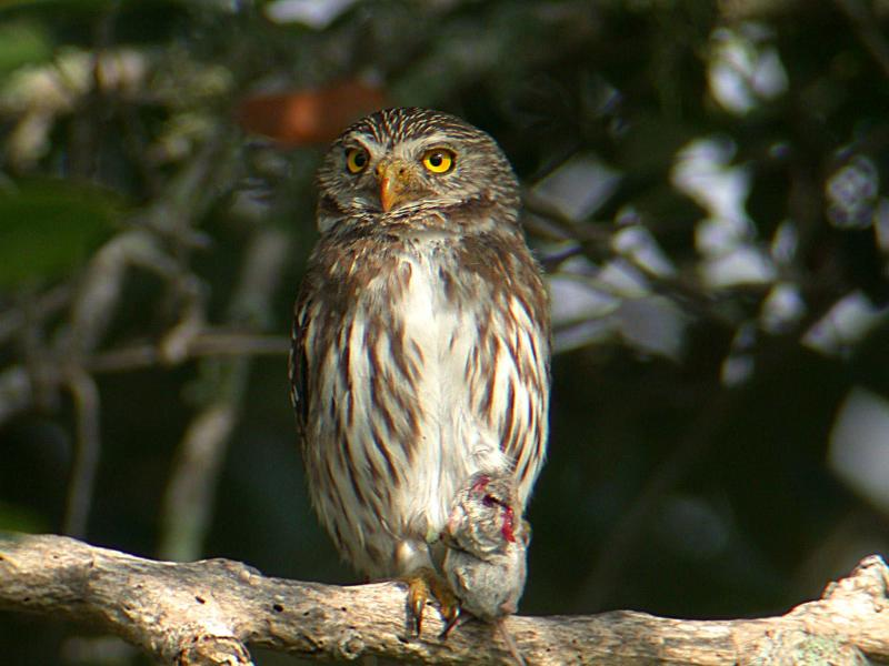 Ferruginous Pygmy-Owl with Mouse