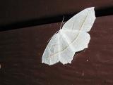 Pale Beauty (Campaea perlata) [Geometridae , Ennominae]