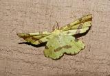 False Crocus Geometer (Xanthotype urticaria)