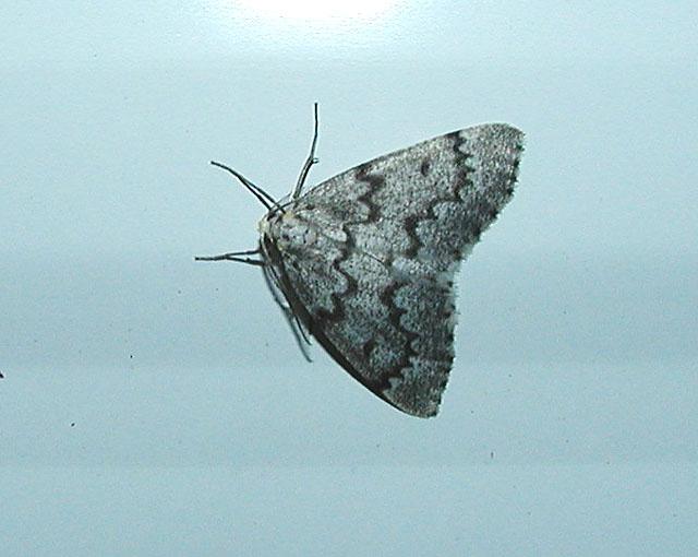 False Hemlock Looper Moth (Nepytia canosaria)