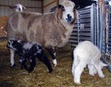 Lambs 2Peepers.5829