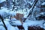 Linda  - the snow cat  -  Linda - lumikissa