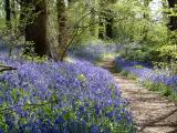bluebell_woods