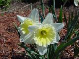 daffodil 1.jpg