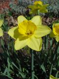 daffodil2.jpg
