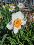 daffodil6.jpg