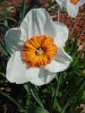 daffodil7.jpg