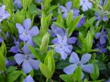 vinca minor periwinkle.jpg