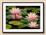 Sioux (changeable) Water LIlies