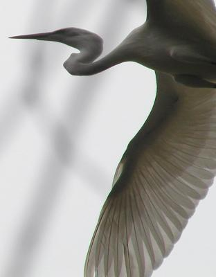 Egret on the wing