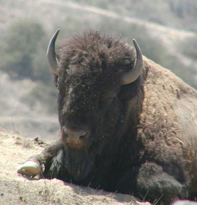 Friendly-looking buffalo