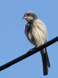 Jay on wire