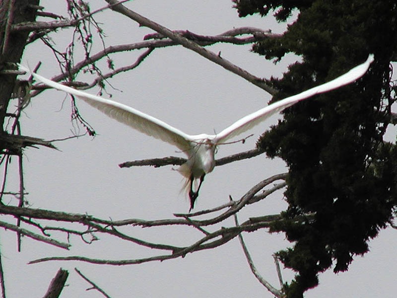 Egret with twigs