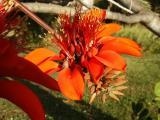 Coral Tree (Erythrina Variegata)