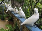 Several cockies on the verandah