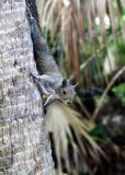 the ubiquitous florida squirrel