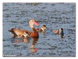 Whistling Duck & Chicks