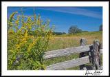 Blue Ridge Goldenrods 3