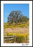 Blue Ridge Goldenrods 1