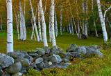 Stonewall and Birches