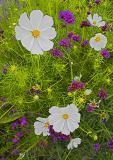 spring-ledge-wallflowers-.jpg