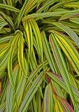 springledge-stripes-9.jpg
