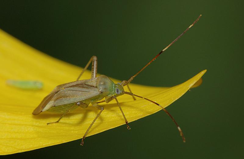 Adelphocoris-quadripunctatus.jpg