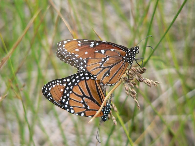 Queen (Danaus gilippus thersippus) - coupled pair