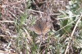 Rocky Mountain Duskywing (Erynnis telemachus)