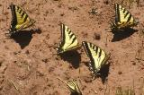 Western Tiger Swallowtails (Papilio rutulus)