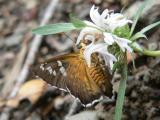 Arizona Araxes Skipper (Apyrrothrix araxes arizonae)