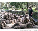 Sheeps in abandon