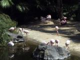 Pink Flamingoes - Loro Park