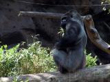 Gorilla - Loro Park