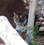 Tiger - Loro Park