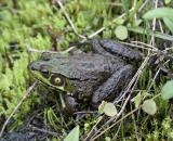 2005-05-30: Green Frog