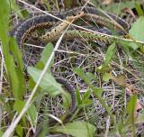2005-06-01~ Garter Snake