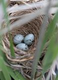 2005-06-03~ Red-Wing Blackbird Nest