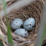 Red-Wing Blackbird Nest Closeup