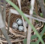 2005-06-14~ Nest with Four Eggs