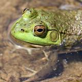 2005-07-14~ Bullfrog with Biting Midges
