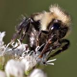 2005-08-06: Bee on Eupatorium