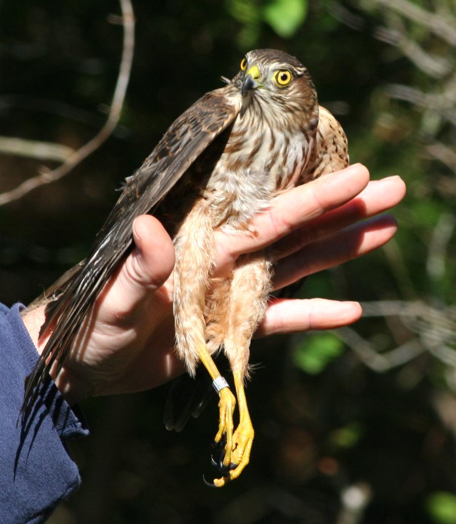 Sharp-shinned Hawk juvenile during banding