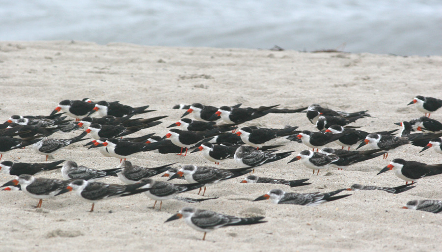 Black Skimmers in a flock