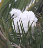 Snowy Egret,baby