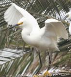 Snowy Egret ,juvenile