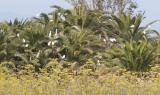 Snowy Egret rookery