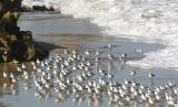 Sanderlings on the march