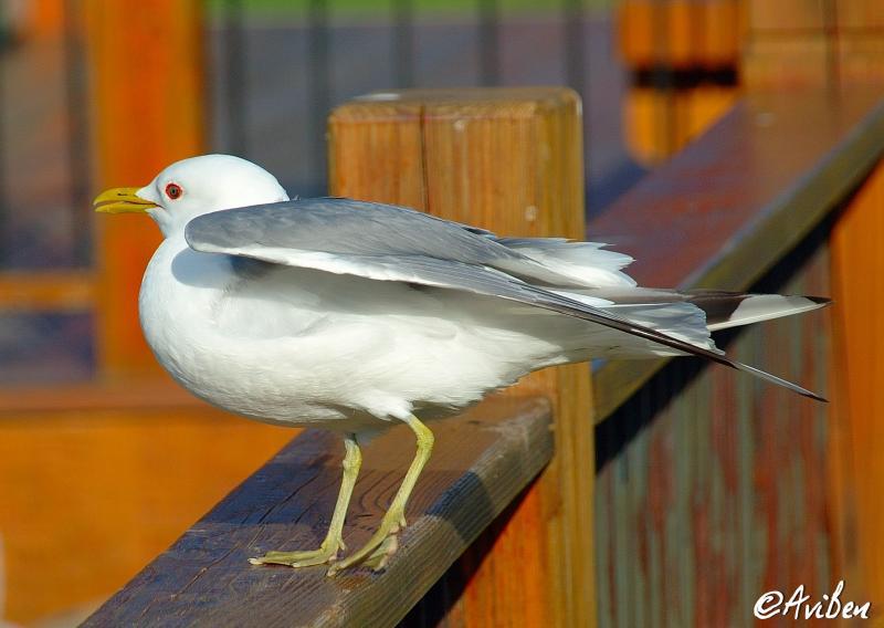 Bird at Denali 01.jpg