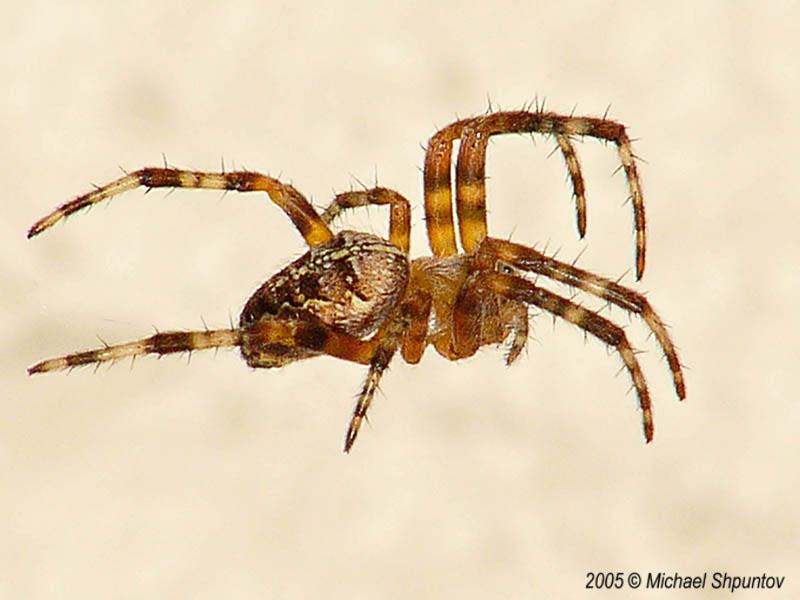 Flying Spider.